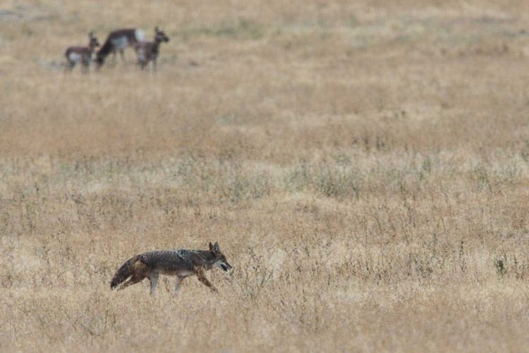 Lone coyote without his pack